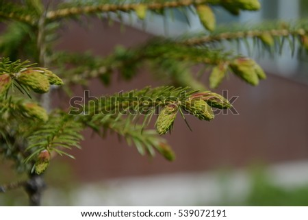 The branch of spruce. #539072191