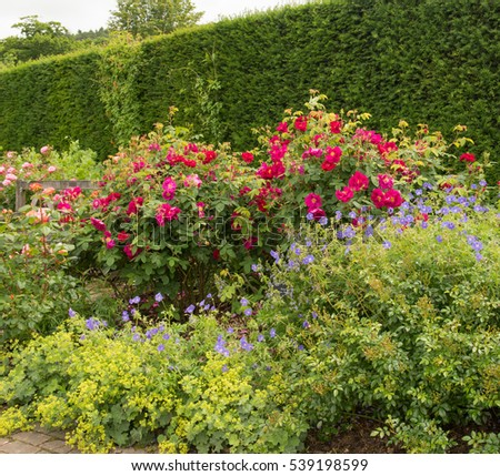 Red Roses (Rosa) and Blue Geraniums in a Flowerbed with a Border of Ladies Mantle (Alchemilla mollis) and a Yew Hedge in the Background in a Country Cottage Garden in Rural Devon, England, UK #539198599