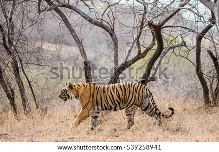 Bengal tiger goes among the trees in the Ranthambore National Park. India. An excellent illustration.