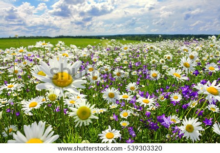 beautiful summer landscape with blossoming meadow and flowers. wild flowers blooming spring