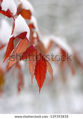 Yellow leaves in snow. Late fall and early winter. Blurred nature background with shallow dof. #539393818