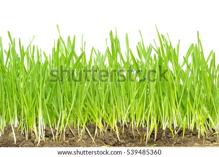 Green grass isolated on white background #539485360