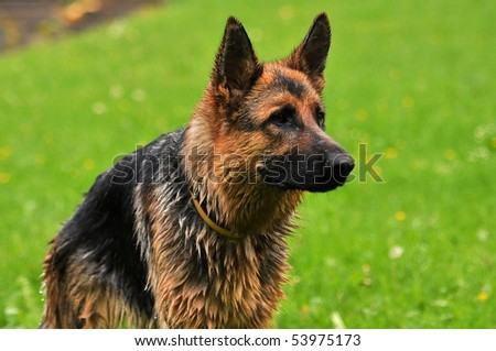 German shepherd #53975173