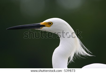 Snowy egret (Egretta thula) with feathers blowing, Fort Myers, Florida #539873