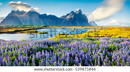 Blooming lupine flowers on the Stokksnes headland. Colorful summer panorama of the southeastern Icelandic coast with Vestrahorn (Batman Mountain). Iceland, Europe. Artistic style post processed