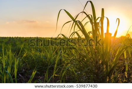 Sunset over sugar cane field #539877430