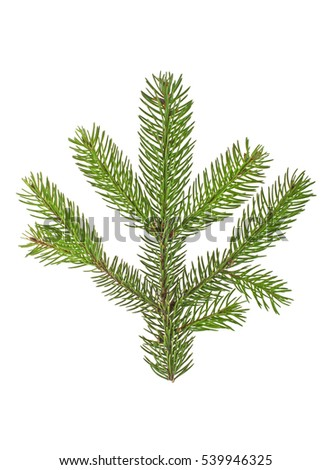 Fir tree branch isolated on a white background #539946325