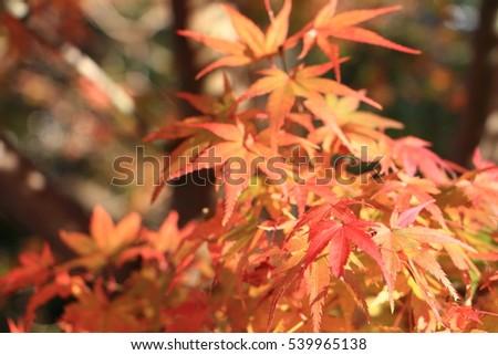 orange maple leave autumn in Kyoto Japan #539965138