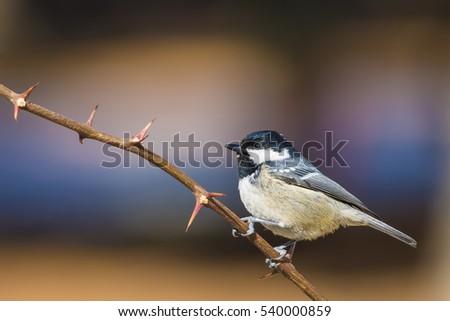 Cute little bird. Coal Tit. Periparus ater. Nature background. #540000859