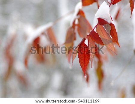 Yellow leaves in snow. Late fall and early winter. Blurred nature background with shallow dof. #540111169