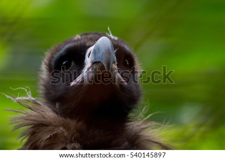 Young vulture #540145897