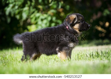Adorable German shepherd puppy posing on the grass in summer #540213127