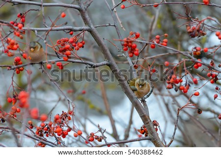Chaffinches sitting on rowan branches #540388462