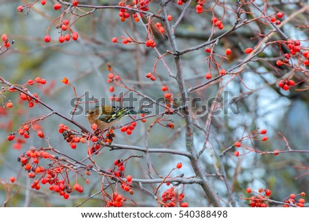 Chaffinch sitting on the branches of a Rowan tree and eats the berries #540388498
