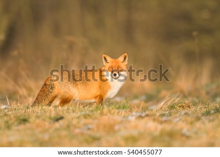 Mammals - Red Fox (Vulpes vulpes), looking for something to eat in amazing sundown light #540455077
