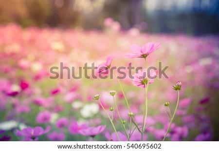 Cosmos flowers blooming in the garden #540695602