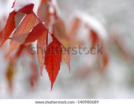 Yellow leaves in snow. Late fall and early winter. Blurred nature background with shallow dof. #540980689