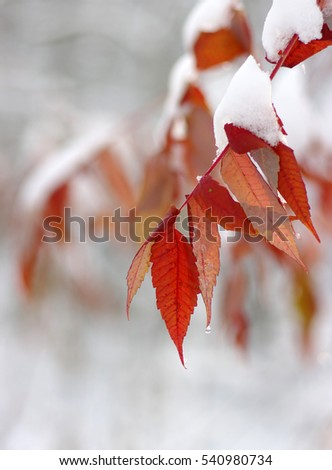 Yellow leaves in snow. Late fall and early winter. Blurred nature background with shallow dof. #540980734