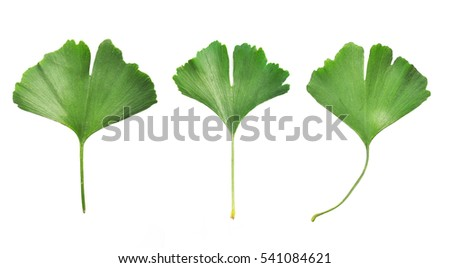Collafe of three Ginkgo Biloba leaves isolated on white background #541084621
