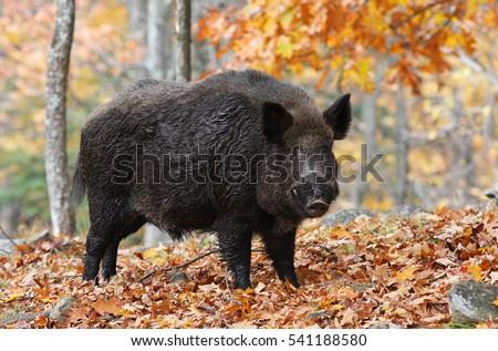 Male Wild-boar in autumn forest #541188580