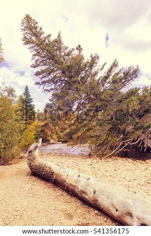 Spruce tree bend along the river. beautiful landscape. Autumn foliage. Colorado national park. Secret hidden place by the river. Filter #541356175