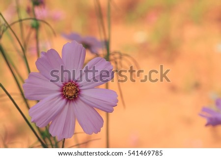 fields cosmos flowers #541469785