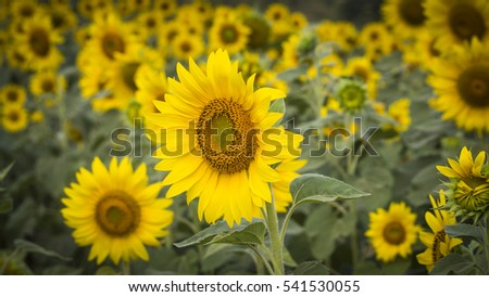 The sunflower #541530055