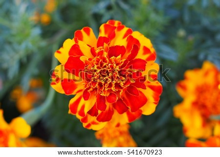 Close-up beautiful flower in yellow and orange petals. #541670923
