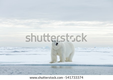 Big polar bear on drifting ice edge with snow and water in Arctic Svalbard. Big dangerous animal from cold nature.
