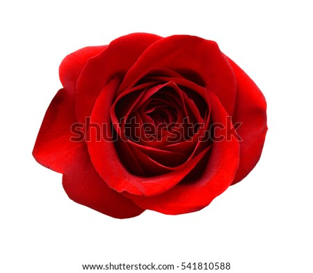Beautiful red rose isolated on white #541810588