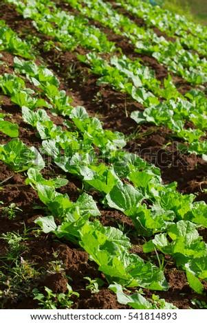 lettuce field #541814893
