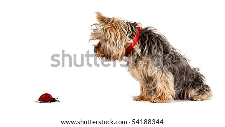 small yorkshire terrier looking at a ladybug over white