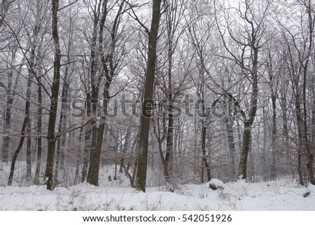 Winter forest. Transcarpathia #542051926