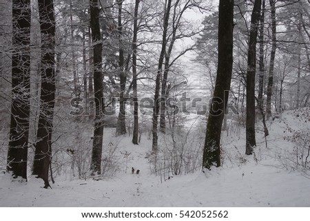 Winter forest. Transcarpathia #542052562