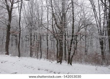 Winter forest. Transcarpathia #542053030