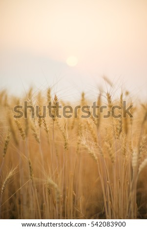 Barley field sunset #542083900
