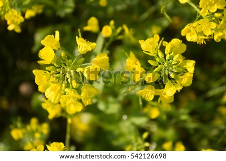 Organic Agriculture, Mustard Cultivation #542126698