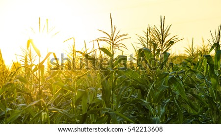 corn field in sunset Royalty-Free Stock Photo #542213608