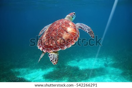 Hol Chan national park, Belize, scuba diving with turtles                                Royalty-Free Stock Photo #542266291