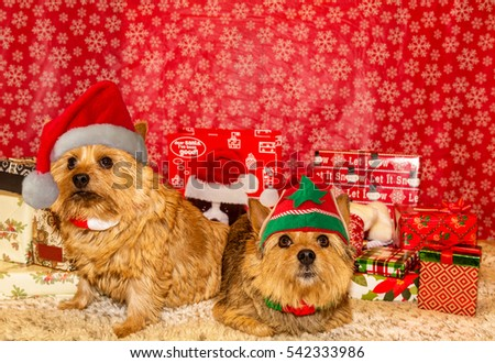 Pair of Norwich Terriers in Christmas scene. Norwich Terriers. Christmas Dogs #542333986