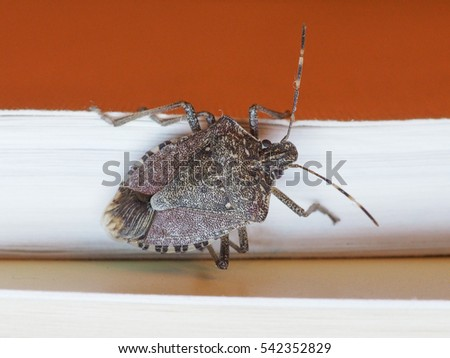 Brown marmorated stink bug (Halyomorpha halys) insect animal indoor on a book during winter season
