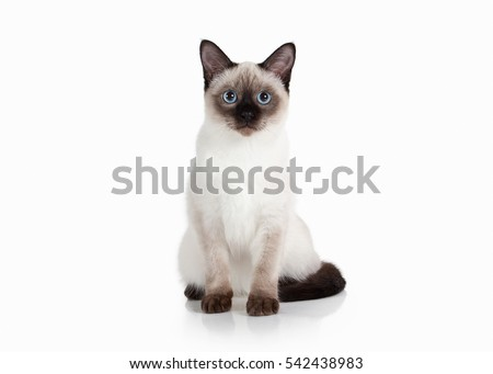 Thai kitten on white background