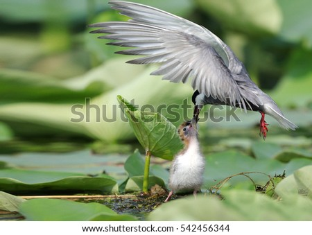 Whiskered Tern #542456344