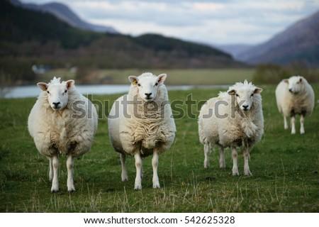 Sheep in Scotland (3) #542625328