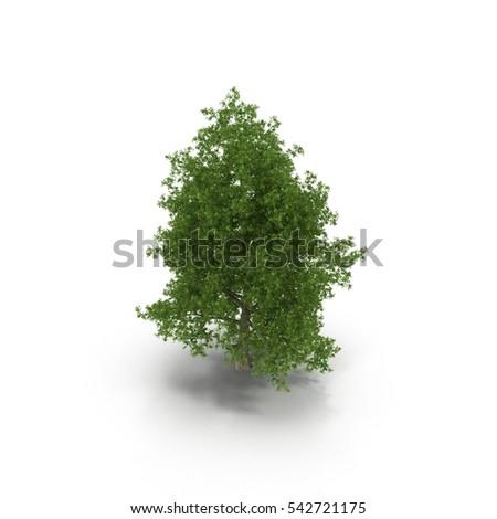 Poplar tree isolated on white. 3D illustration #542721175