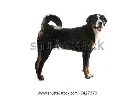 Greater Swiss Mountain Dog standing and looking into the camera #5427370