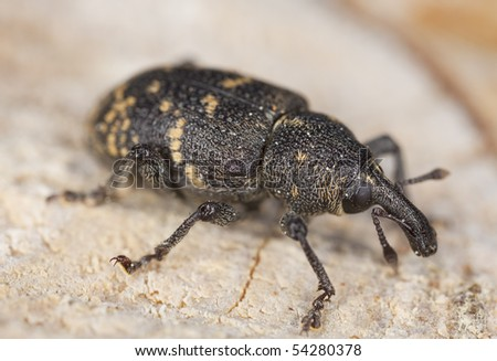 Snout beetle (Hylobius abietis) Macro photo. This beetle is a pest on pine trees. High magnification. #54280378