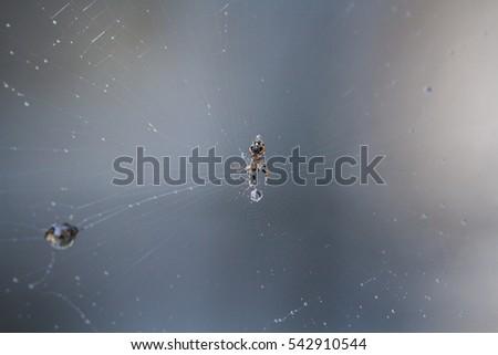 spider in Cobweb #542910544