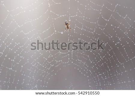 spider in Cobweb #542910550