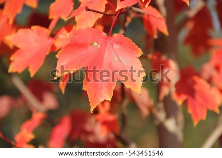 red leaves autumn maple branch in the Park